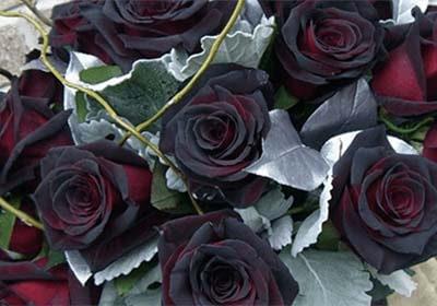 """Розы """"Черная магия"""" (Black Magic) из набора для выращивания цветов - ГИБРИДНЫЕ КОРОЛЕВСКИЕ РОЗЫ"""