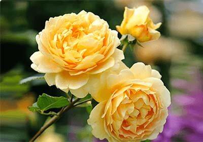 """Розы """"Золотой праздник"""" (Golden Celebration из набора для выращивания цветов - ГИБРИДНЫЕ КОРОЛЕВСКИЕ РОЗЫ"""