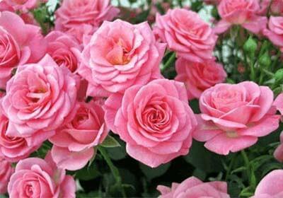 """Розы """"Королева Елизавета"""" (Queen Elizabeth) из набора для выращивания цветов"""