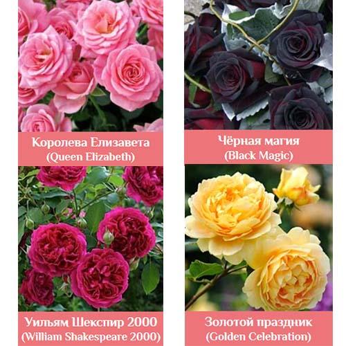 Гибридные королевские розы ф.2