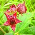 Крем для суставов «Ортэкс», в составе содержит цветок сабельника