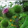 Лопух - растение
