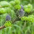 Пихта - ветки дерева