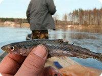 Благодаря приманки Fish MegaBomb, такую маленькую рыбку, Вы будете использовать только в виде наживке, а не улова
